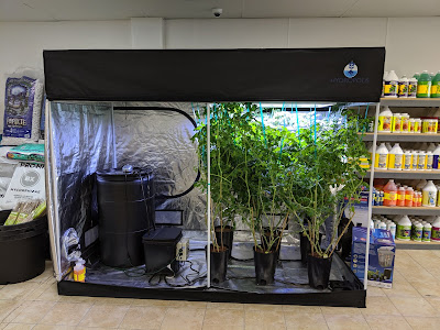 Tomatoes in a Grow Tent