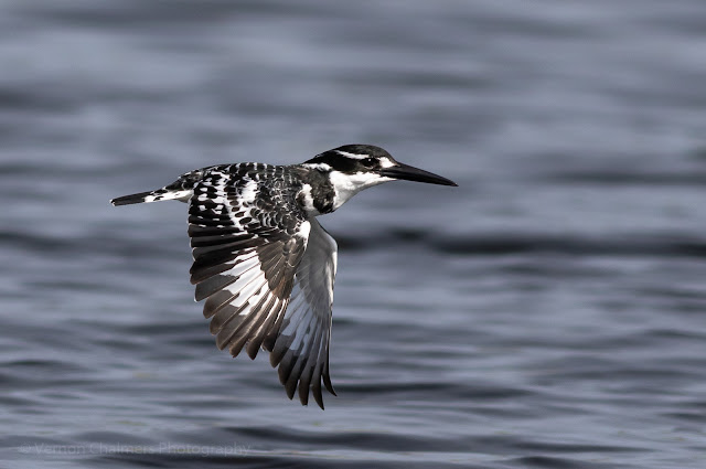 Pie kingfisher in Flight : Woodbridge Island, Milnerton