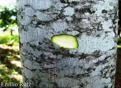 Genipa americana tronco
