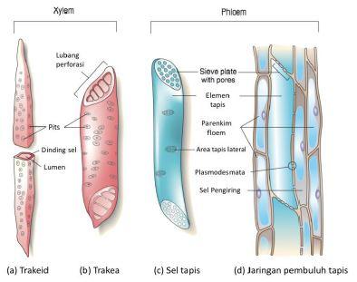 Gambar 6. Komponen penyusun xylem  www. learniseasy.com