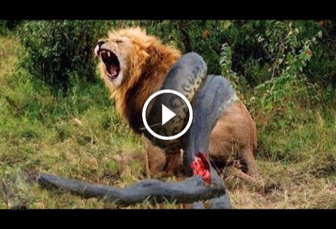 The perfect 10 CRAZIEST Animal Fights Caught On Camera ~ Tour guide