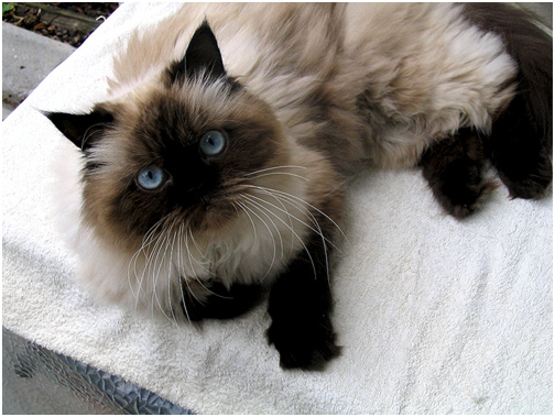 Specifically Type Of Cats Himalayan Cat Persian Siamese
