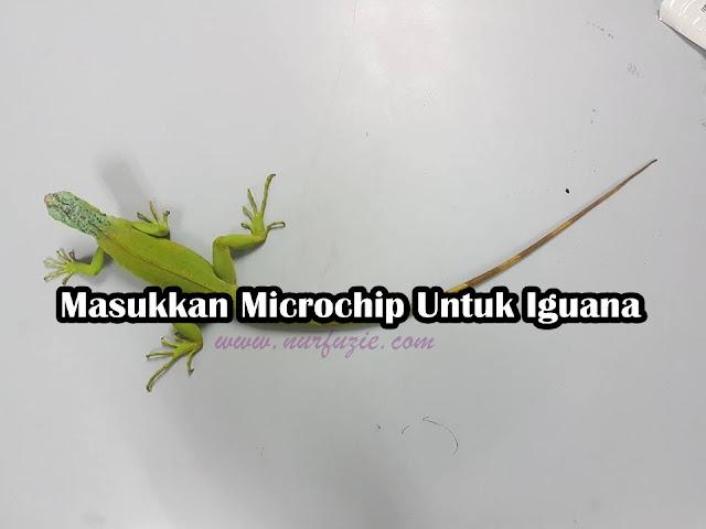 Masukkan Microchip Untuk Iguana