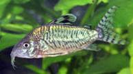 Jenis Ikan Corydoras geryi