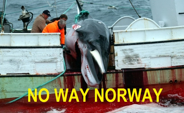 no way norway stop whale hunting