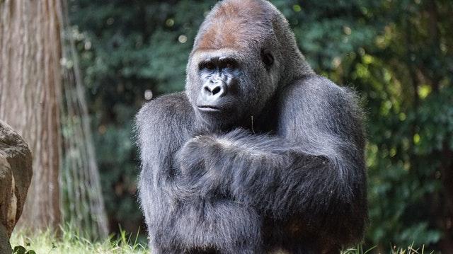غوريلا السهول الشرقية(Eastern Lowland Gorilla)