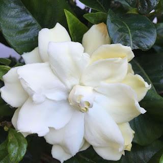 Biały kwiat Gardenii