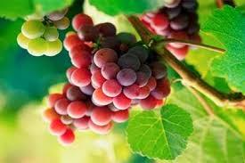 manfaat buah anggur merah untuk kesehatan
