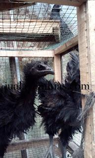 Ayam Cemani Walik Usia 3 Bulan