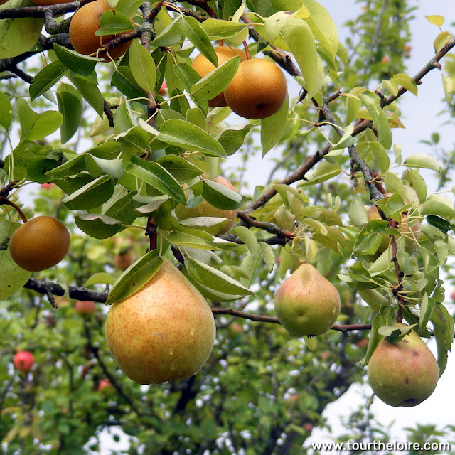 Pears on the tree. Photo by Loire Valley Time Travel.
