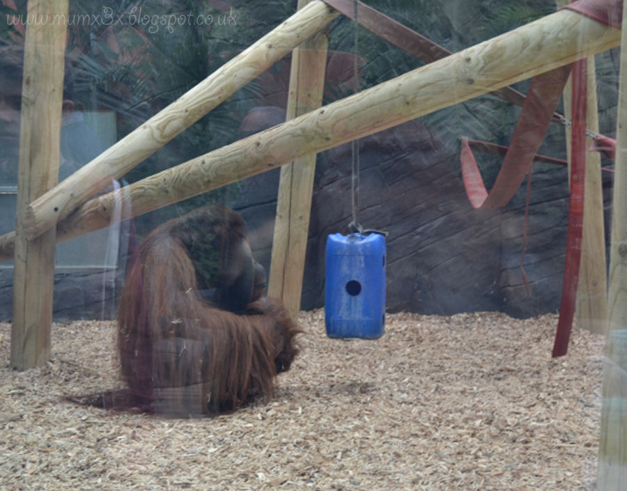 Orangutangs at colchester zoo @ ups and downs, smiles and frowns