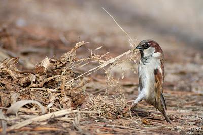 Pardal comú fotografiat a la Vall d'Aro