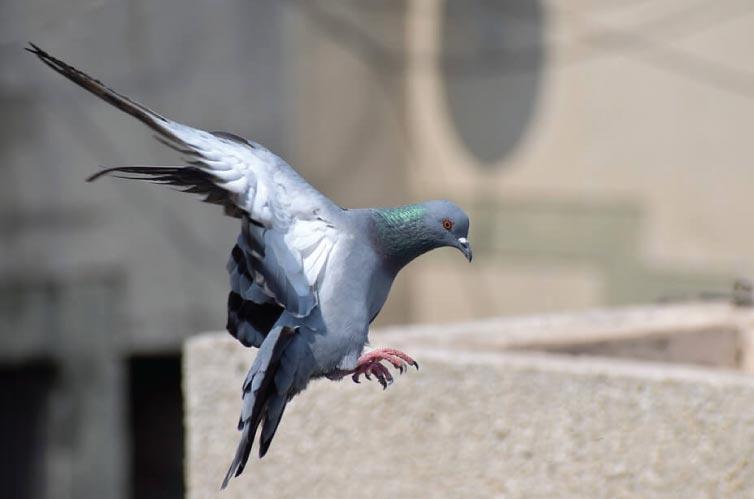 Hukum Melombakan Burung Dara Itu Dosa Atau Tidak Sih?