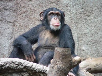 how smart is a chimpanzee