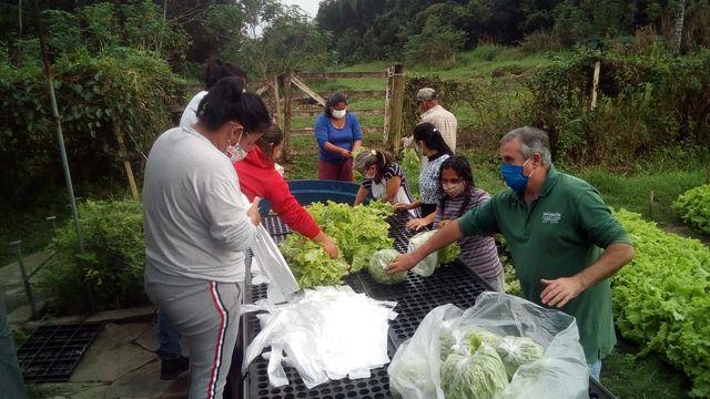 Cerca de oito mil pés de alface foram colhidos para compor os kits de alimentação nas escolas da Ilha