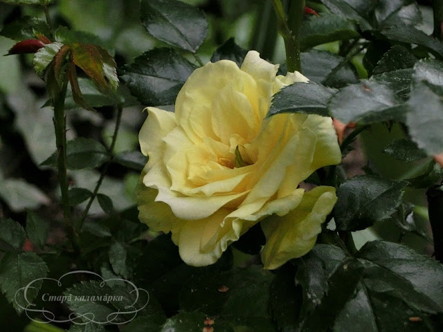 Роза Solero, розы, розарии, сад и розы