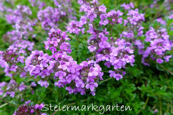 Thymianblüte-Steiermarkgarten