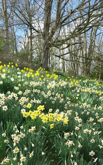 Daffodils, American Museum in Bath
