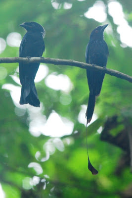 Greater Racket-tailed Drongo, Sime Forest