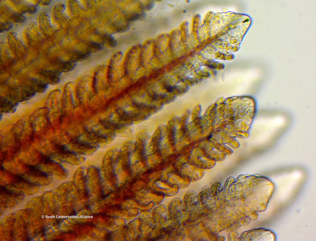 Healthy muskie fish scales under the microscope at 1000x magnification.