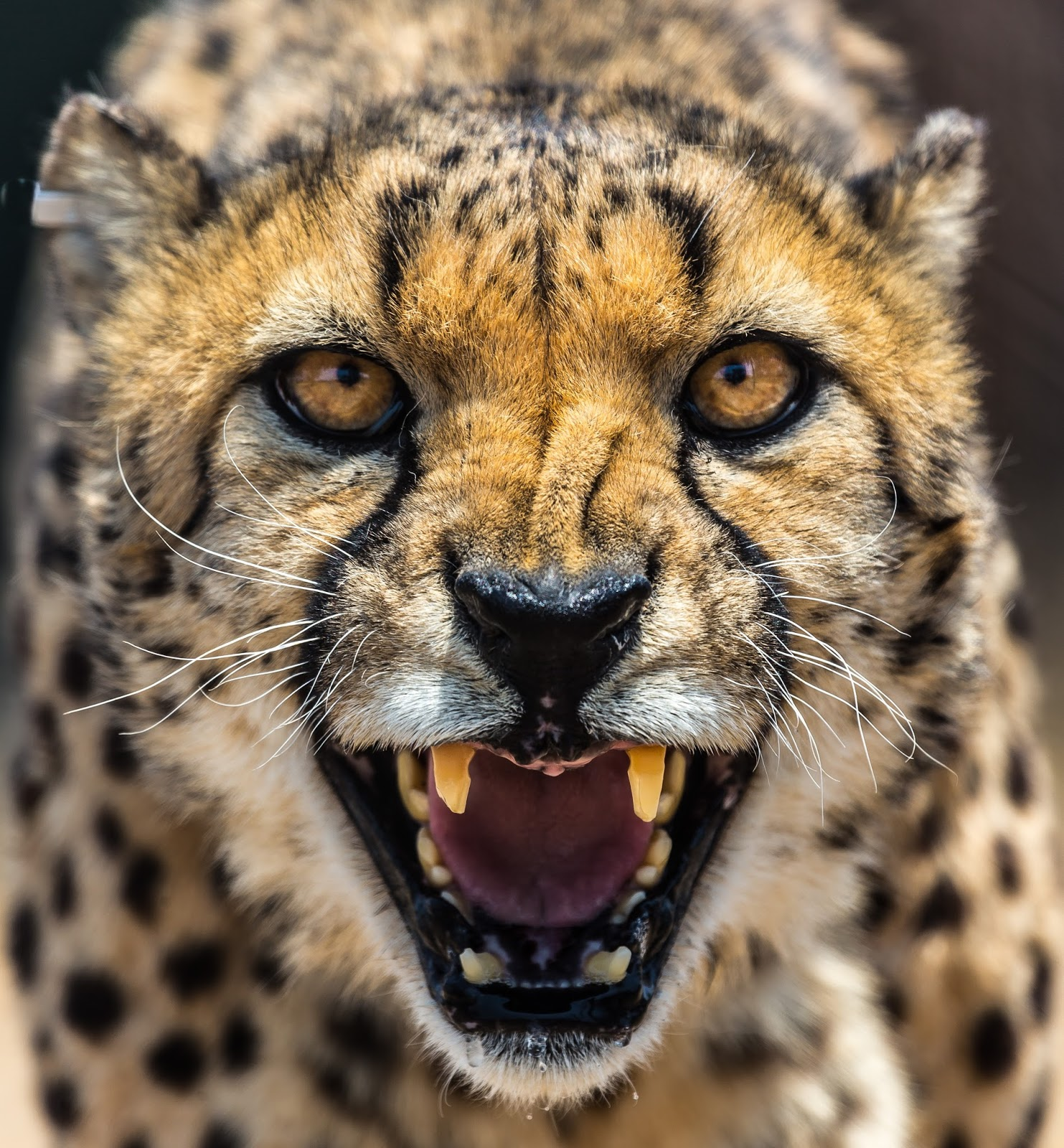 Picture of a cheetah making churring sound.