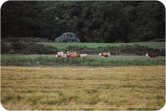 Cows - Aberdeenshire countryside Inverugie
