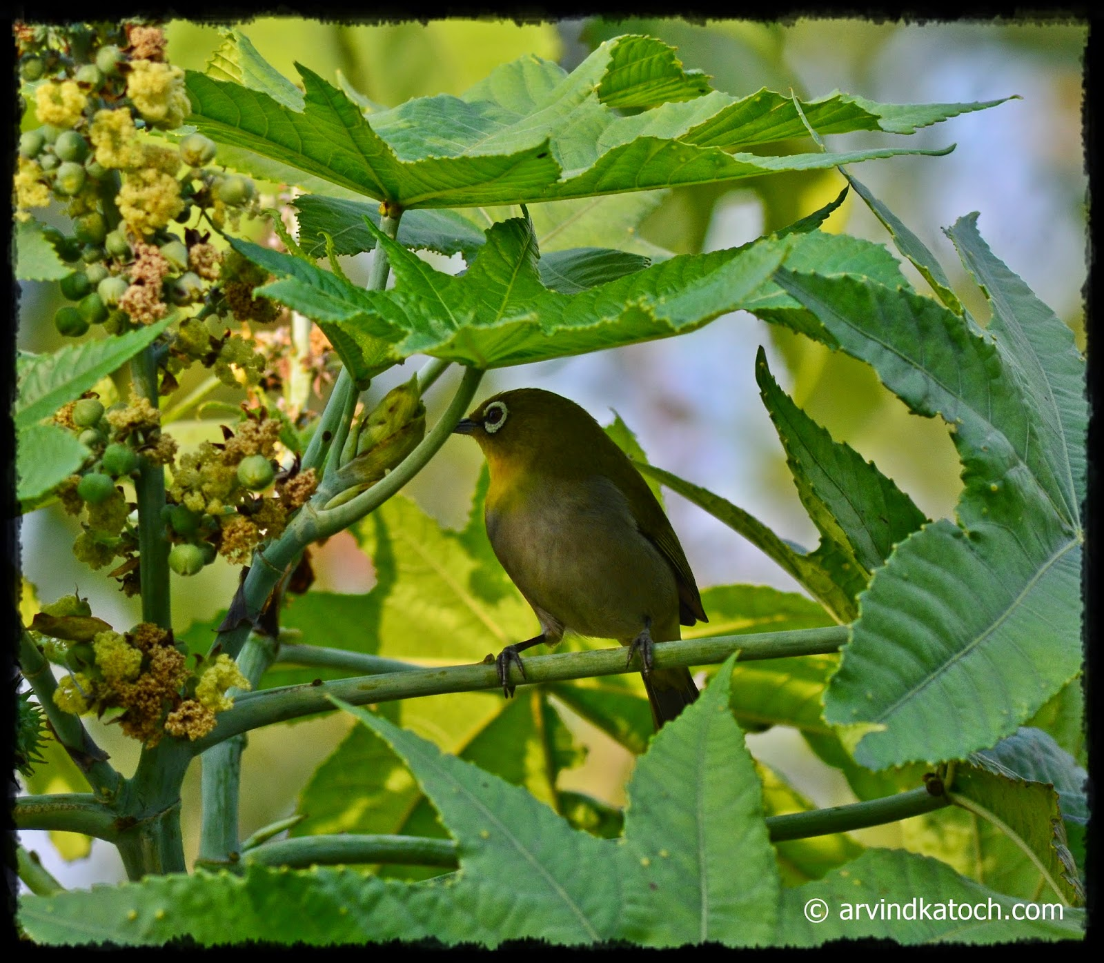Oriental White Eye, Tiny Bird, Beautiful, small bird
