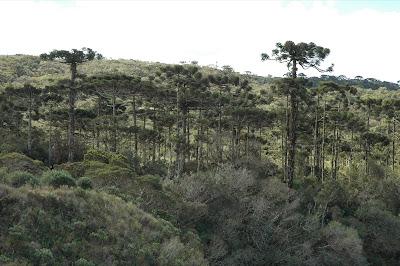 Floresta com araucárias, desmatamento da floresta com araucárias, araucárias, extinção da araucária, desmatamento ilegal, conservação da floresta com araucária, natureza, santa catarina, Paraná, extinção, árvores ameaçadas de extinção, iucn