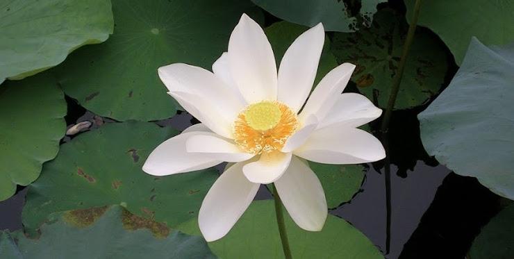 上海の大きな蓮池に咲く白い花