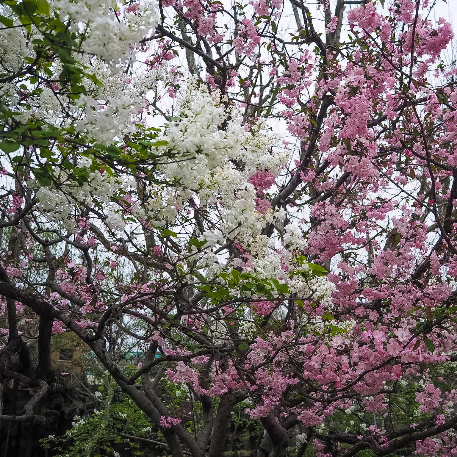 blossom in shanghai china