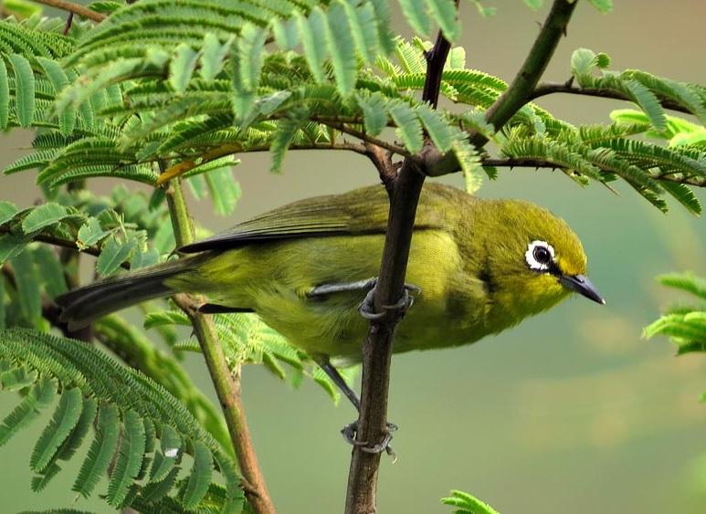 Download Suara Masteran Burung Pleci Ngalas Nembak Gacor Lengkap