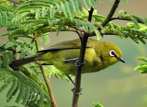 √  Download Suara Masteran Burung Pleci Ngalas Nembak Gacor [LENGKAP]