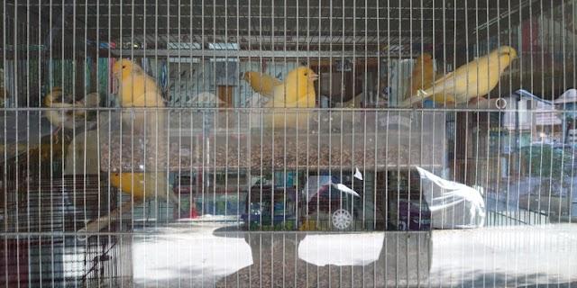Καναρίνια σαλονιού: Τα πουλιά με το πιο μελωδικό κελάηδισμα - Τι χρειάζονται, πόσο κοστίζουν