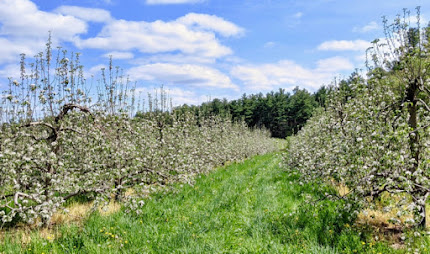 Rows of blooming apple trees recede into the distance