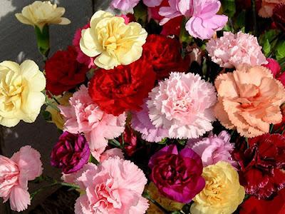Canartion - Hoa cẩm chướng 5