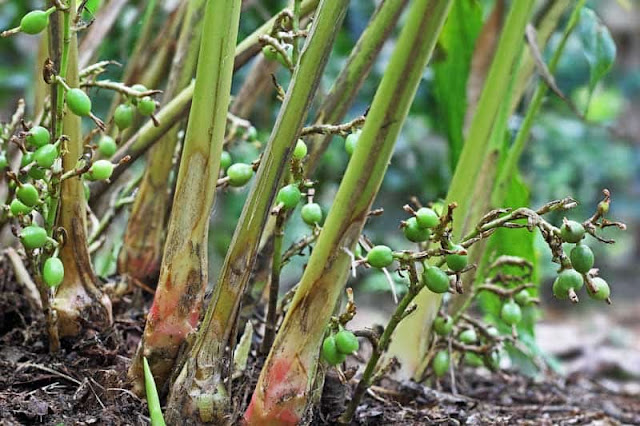 इलायची की खेती से भी हो सकती है सालाना लाखों की कमाई