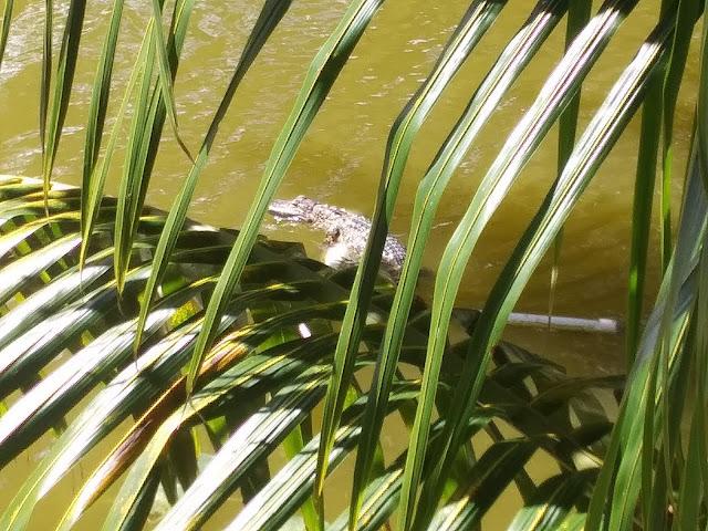That's an alligator in my backyard, y'all