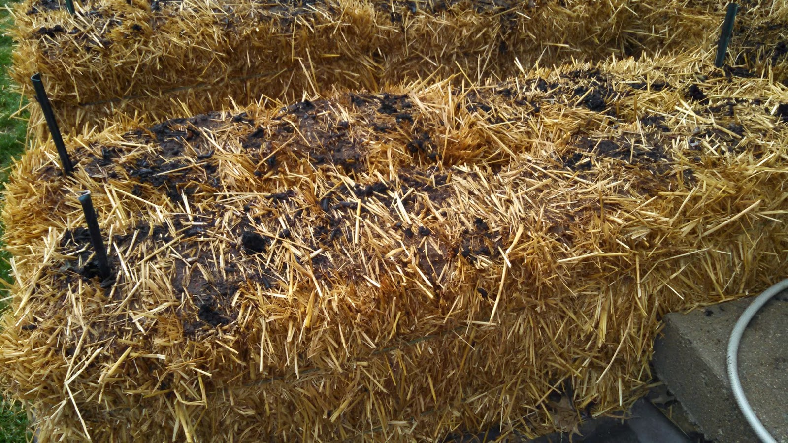 Day 5 of Straw Bale Conditioning, Before Adding More Fertilizer, Several Bales