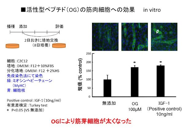 実験結果 筋芽細胞の短径の増加