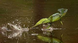 Kadal Basilisk Salah Satu Binatang yang Bisa Jalan di Air