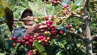 Petani Kopi Flores Butuh Tata Kelola Berkelanjutan
