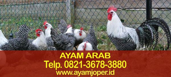 Harga Bibit Ayam Petelur Arab