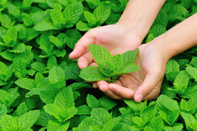 Twelve Reasons Why You Need To Grow Peppermint At Home And How To Do It