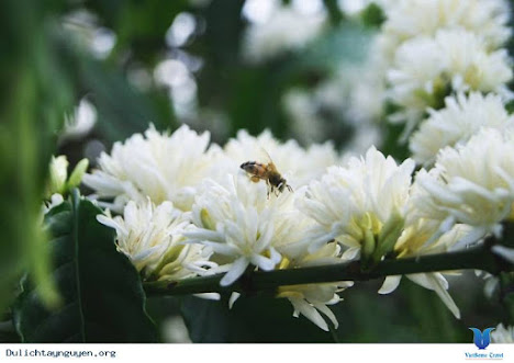 Ong kiếm nguồn thức ăn là hoa cà phê