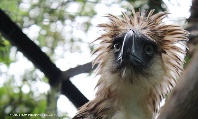 Japenese Prime Minister Shinzo Abe Adopts Philippine Eagle, Names it 'Sakura'