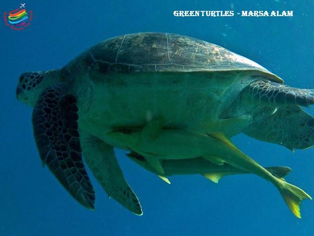 Green Sea Turtles - Marsa Alam