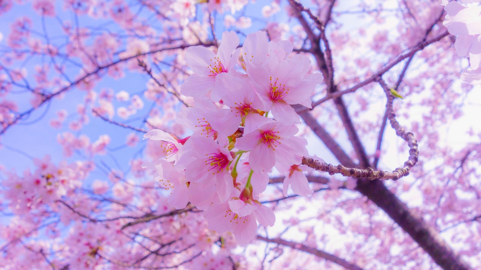 closeup view of pink sakura flowers 4k HD flowers Wallpaper