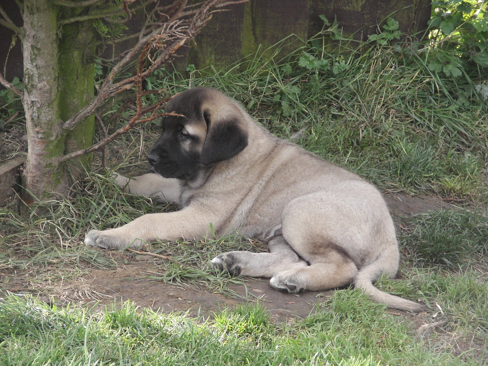 Asalet Anatolian Shepherd Dogs Home of the Turkish Kangal