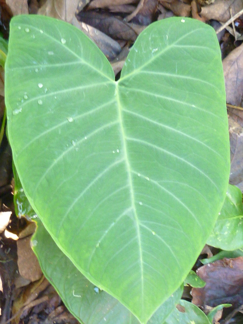 Will The Real Taro Leaf Please Stand Up
