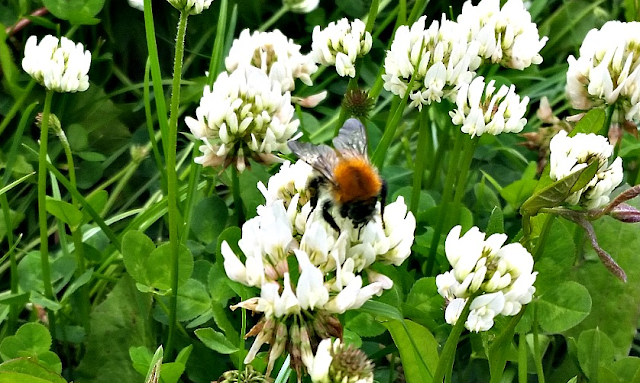 A bee collecting pollen from the clover flowers on our grass in the back garden.